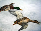 03 Canards sauvages - A couple of Mallards flying