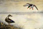 05 Canards se posant - Two Ducks landing