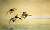 07 Trois Canards se posant - Three Ducks landing