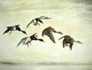 10 Vol de cinq Canards - Five Ducks flying