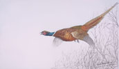 20 Faisan en vol - Pheasant flying