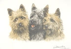 92 Cairns Terriers - Three Cairn-terriers heads