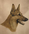 Tête de Berger - Alsatian Shepherd-dog head