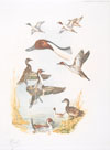 07 - Etude de canards Pilet - Pintails study
