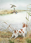 24 - Epagneul breton levant des canards - Brittany spaniel and ducks in the marshes